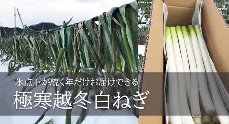 """鳥取・田中農場2021年1月""""寒波""""襲来でマイナス9℃の極寒の中育つ 甘くて柔らかい希少な「極寒越冬白ねぎ」"""